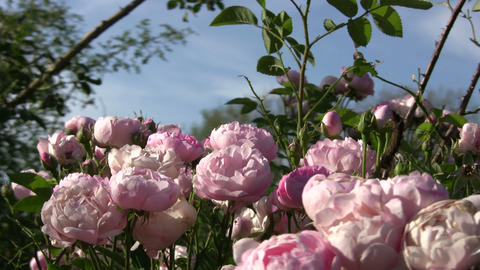 Beautiful Rosa Raubritter roses gently sway in wind (High Definition) Footage