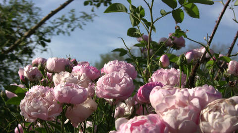 Beautiful Rosa Raubritter roses gently sway in wind (High... Stock Video Footage
