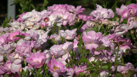 Beautiful Rosa Escapade roses gently sway in wind (High... Stock Video Footage