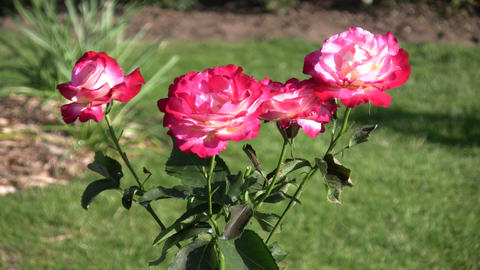 Rosa Double Delight roses gently sway in wind (High... Stock Video Footage