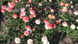 Rosa Tequila Sunrise Roses Gently Sway In Wind (High Definition) stock footage