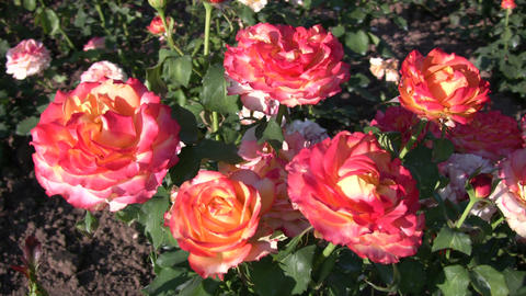 Rosa Tequila Sunrise roses gently sway in wind (High Definition) Footage
