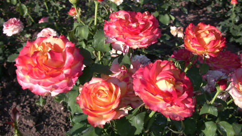 Rosa Tequila Sunrise roses gently sway in wind (High... Stock Video Footage