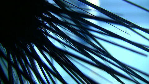 Closeup of Sea Urchin's spikes silhouetted against the... Stock Video Footage