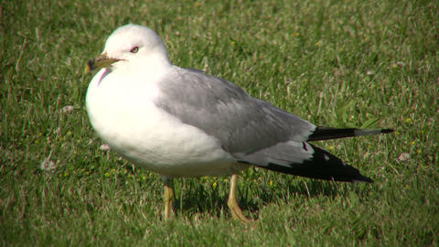 Seagull is resting on the grass, looking around (High... Stock Video Footage