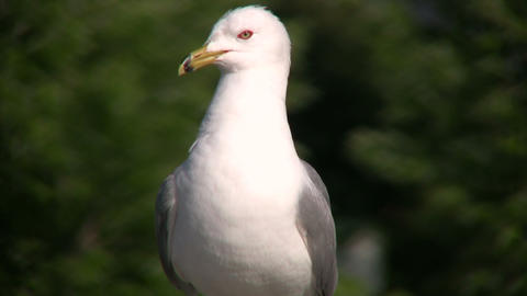 Seagull squawks as it looks around for food (High Definition) Footage