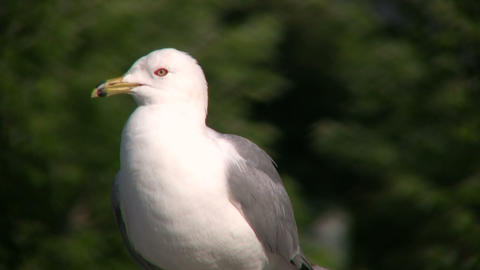 Seagull squawks as it looks around for food (High... Stock Video Footage