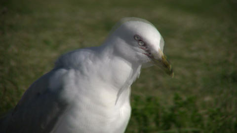 Closeup of a seagull as it grooms itself (High Definition) Footage