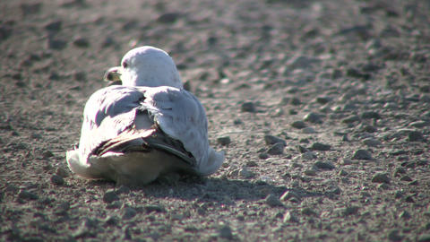 Seagull is resting on gravel, looking around (High Definition) Footage