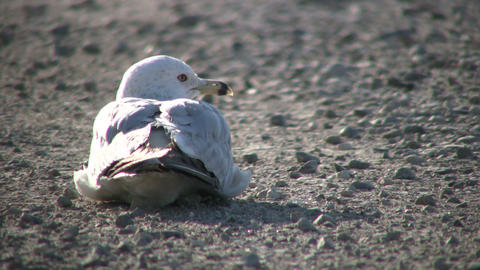 Seagull is resting on gravel, looking around (High... Stock Video Footage