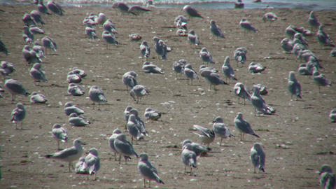 Many seagulls are grooming themselves on sunny beach... Stock Video Footage