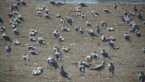 Many seagulls are grooming themselves on sunny beach (High Definition) Footage