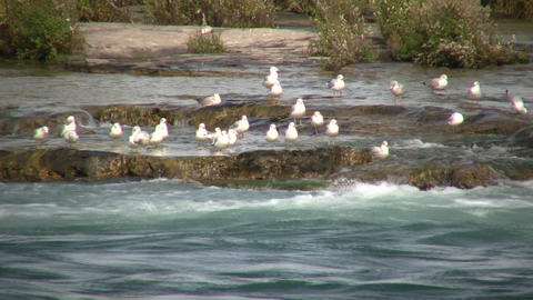 Many seagulls are grooming themselves by the river (High... Stock Video Footage