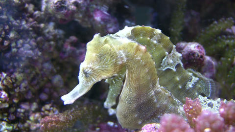 Close-up of two Caribbean Seahorses relaxing in the water Stock Video Footage