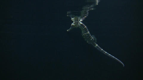 Longsnout Seahorse skims the water's surface Footage