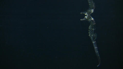 Longsnout Seahorse skims the water's surface Stock Video Footage