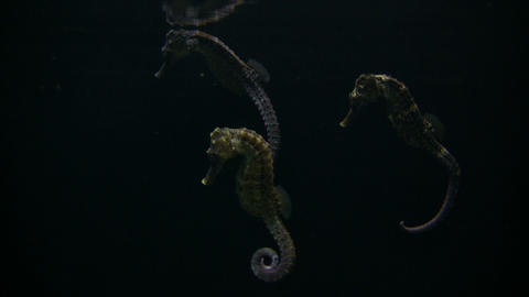 Three Longsnout Seahorses are hanging out in the dark water Stock Video Footage