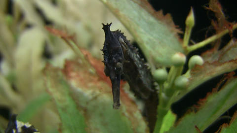 Closeup of a White's Seahorse Stock Video Footage