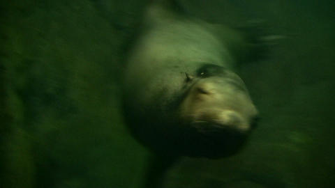 Closeup of a Harbor Seal swimming through the murky water Stock Video Footage