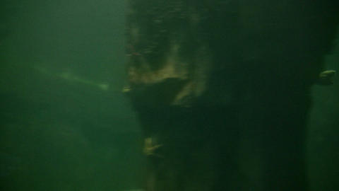Harbor Seal swims through the murky water Footage