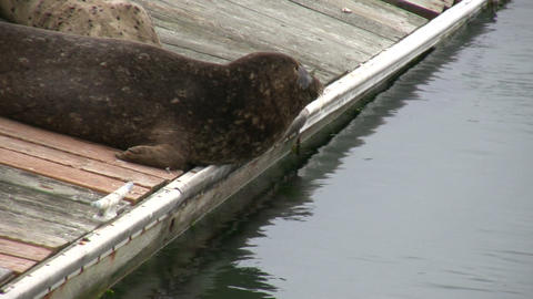 Some seals are resting on dock in San Francisco Bay Footage
