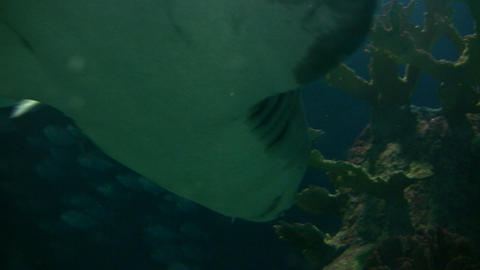 Closeup of a shark swimming through the murky water Footage