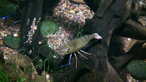 Giant Malaysian Prawn is relaxing at bottom of water Footage