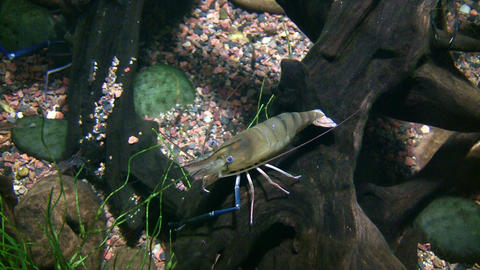 Giant Malaysian Prawn is relaxing at bottom of water Stock Video Footage