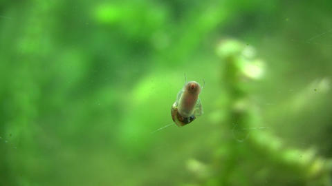 Snail slowly climbs up glass wall, looking for food Footage
