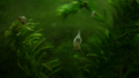 Snail slowly climbs up glass wall, looking for food Stock Video Footage