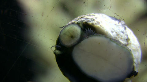 Closeup of snail moving along the glass, looking for food Footage