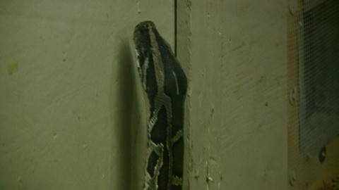 Burmese Python is looking for as exit (High Definition) Footage