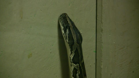 Burmese Python is looking for as exit (High Definition) Stock Video Footage