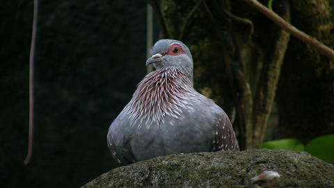 Speckled Pigeon is resting on a rock Stock Video Footage