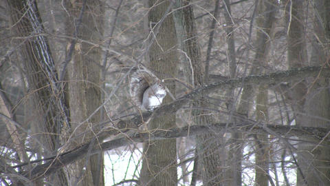 Squirrel is groomming itself in a tree (High Definition) Footage