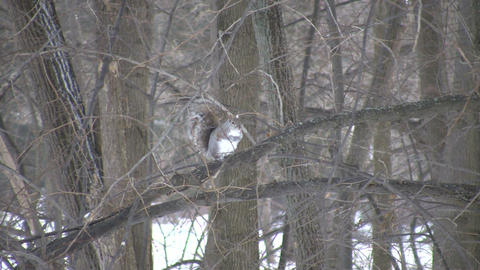 Squirrel is groomming itself in a tree (High Definition) Stock Video Footage
