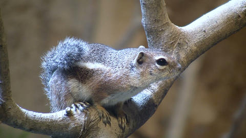 Antelope Ground Squirrel is resting on a branch Stock Video Footage
