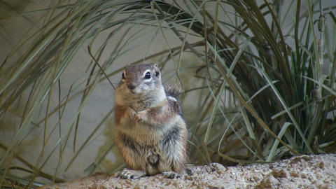 Antelope Ground Squirrel is resting in the grass Stock Video Footage