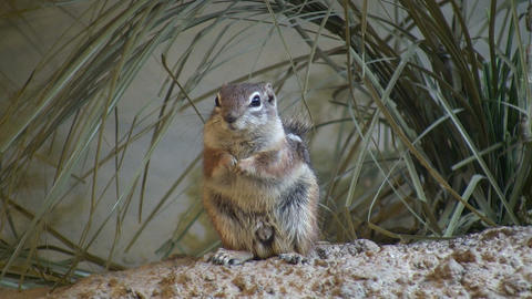 Antelope Ground Squirrel is resting in the grass Footage
