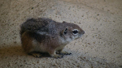 Antelope Ground Squirrel is resting on a rock Stock Video Footage