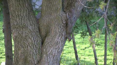 Two squirrels playfully chase each other around an old tree Footage