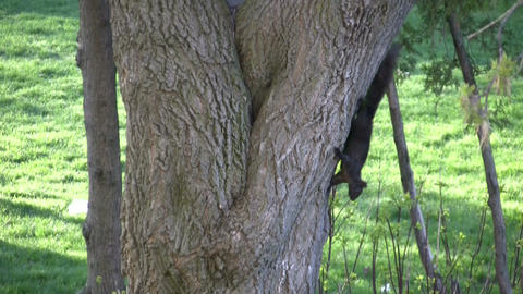 Two squirrels playfully chase each other around an old tree Stock Video Footage