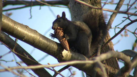 Squirrel is sitting in tree, eating a pinecone (High... Stock Video Footage