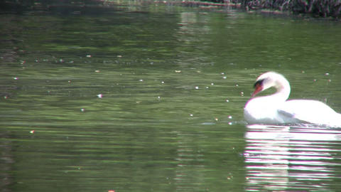 White swan continuously dunks underwater to clean itself... Stock Video Footage