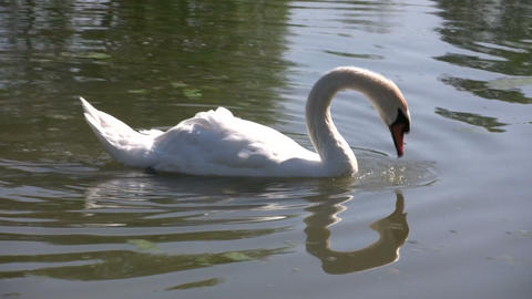 White swan in pond (High Definition) Stock Video Footage