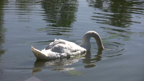 White swan in pond (High Definition) Footage