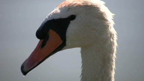 Closeup of white swan (High Definition) Stock Video Footage