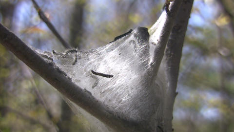 Caterpillars building silk nest (High Definition) Stock Video Footage