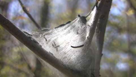 Caterpillars building silk nest (High Definition) Stock Video Footage