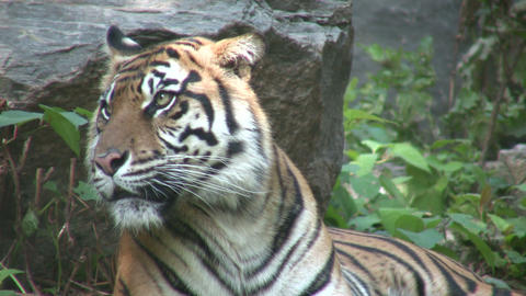 Beautiful African Tiger (High Definition) Footage